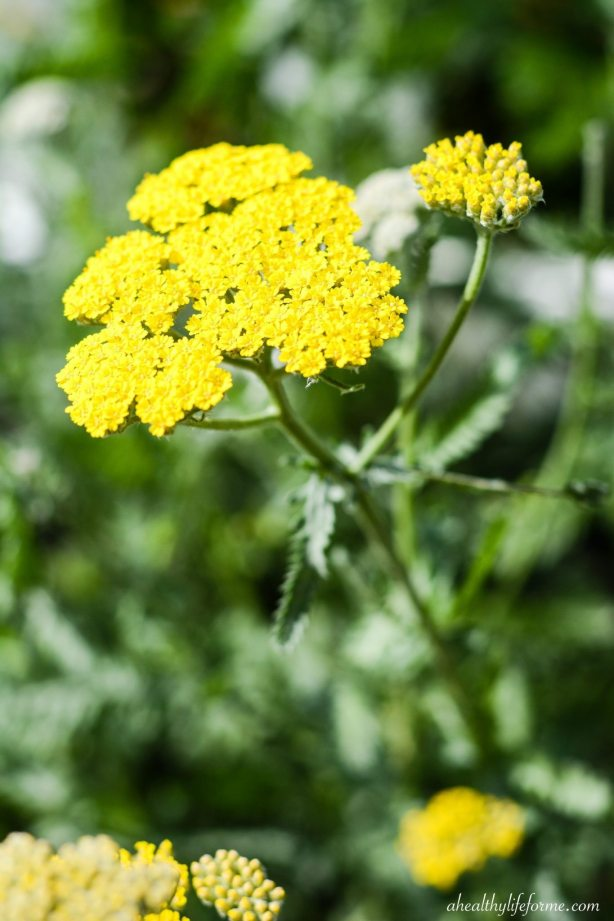 How to Grow and Care for Yarrow | ahealthylifeforme.com