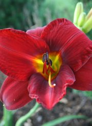 Boots Favorite Daylily