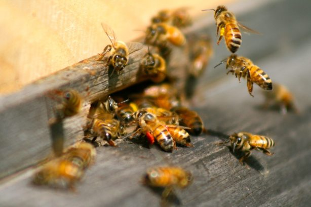 Why I Keep Honey Bees