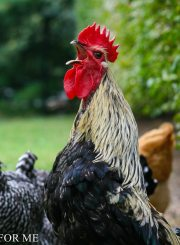 Foghorn Blue Maran Rooster Crowing in Fruit Orchard-8