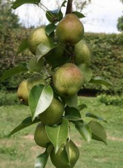 Pears riping and waiting to be picked @ ahealthylifeforme