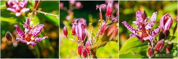 How To Grow Toadlily