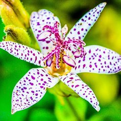 Toad Lily – Tricyrtis