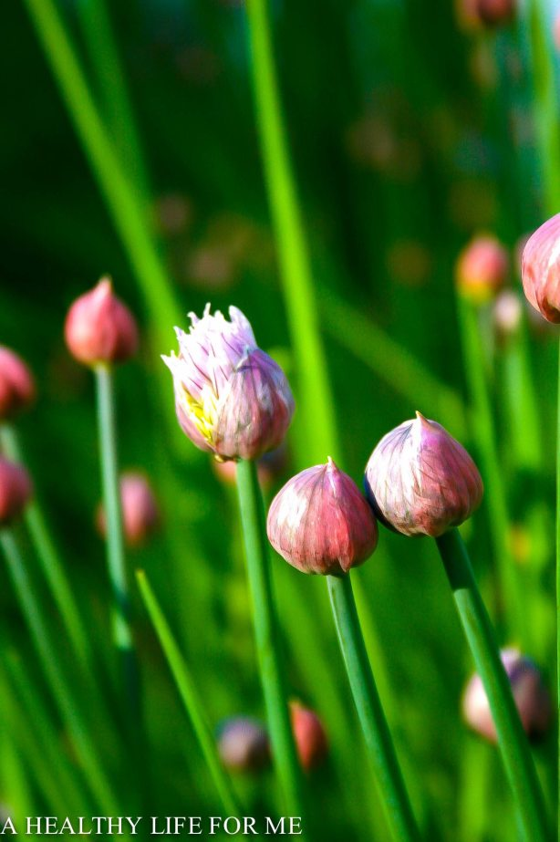 Chive bloom at www.ahealthylifeforme.com