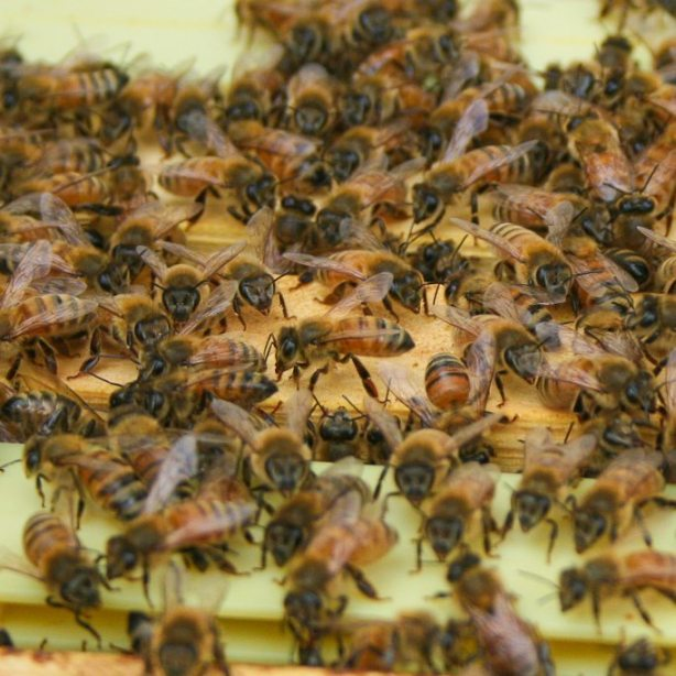 Beekeeping Honey Bee