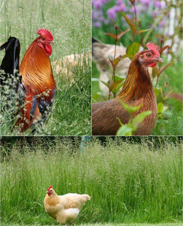 Chickens in the Garden-1