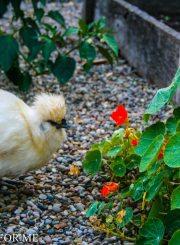 Silkie Hen eating up the nasturtium @ ahealthylifeforme