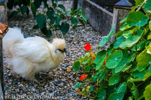 Silkie Hen eating up the nasturtium @ ahealthylifeforme