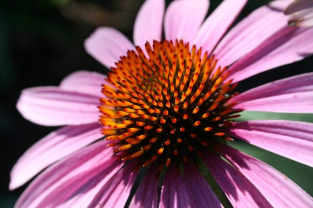 Beautiful Coneflower Echinacea