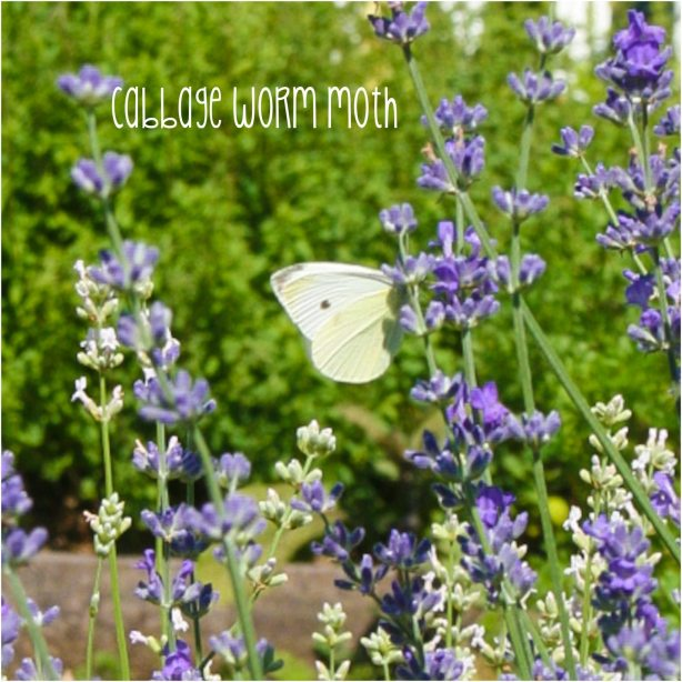Cabbage worm moth | June Gardening; dealing with cabbageworms and flea beetles | ahealthylifeforme.com