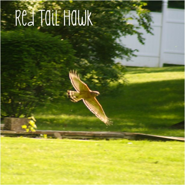 Red Tail Hawk | June Gardening; dealing with cabbageworms and flea beetles | ahealthylifeforme.com