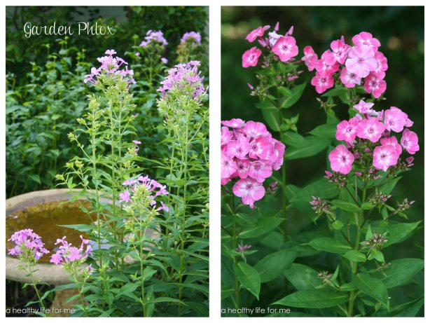Garden Phlox Perennial Gardening in July