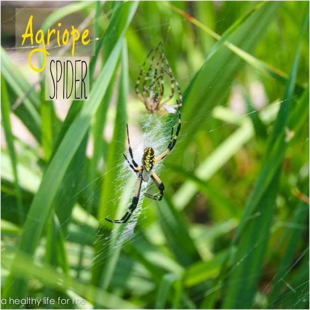 Agriope Spider in Amy Stafford's Garden | August Gardening | ahealthylifeforme.com