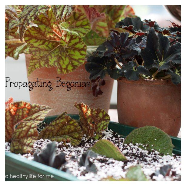 Propagating Begonias