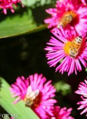 Bees on Aster in Fall