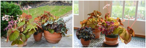 caring for tender begonias