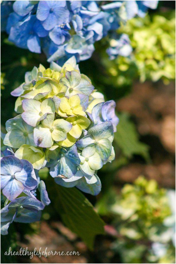 Endless Summer Hydrangea | How to Grow Hydrangea