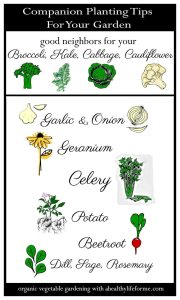 Companion Planting Broccoli Kale Cabbage Cauliflower