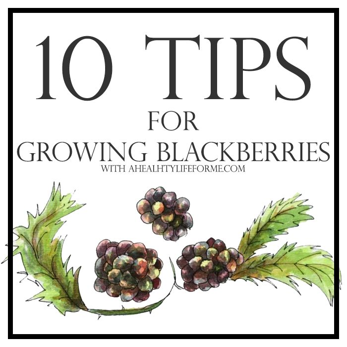 10 Tips for Growing Blackberries | ahealthylifeforme.com