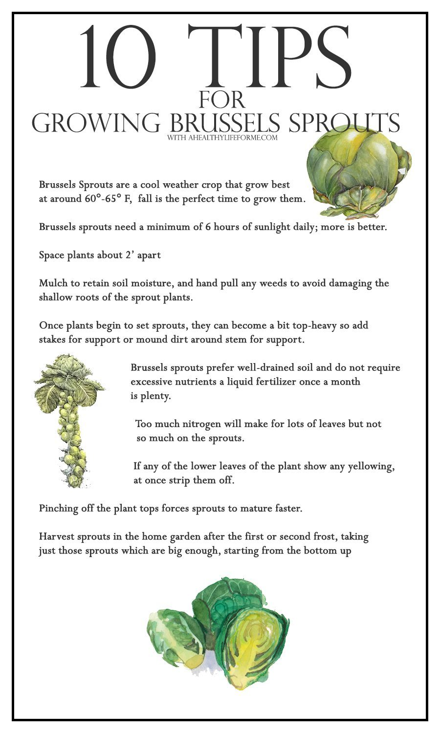 10 tips for growing brussels sprouts a healthy life for me for Gardening tips