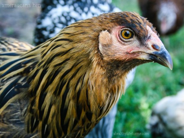 Ameraucana Hen for Fun Facts about Chickens | ahealthylifeforme.com