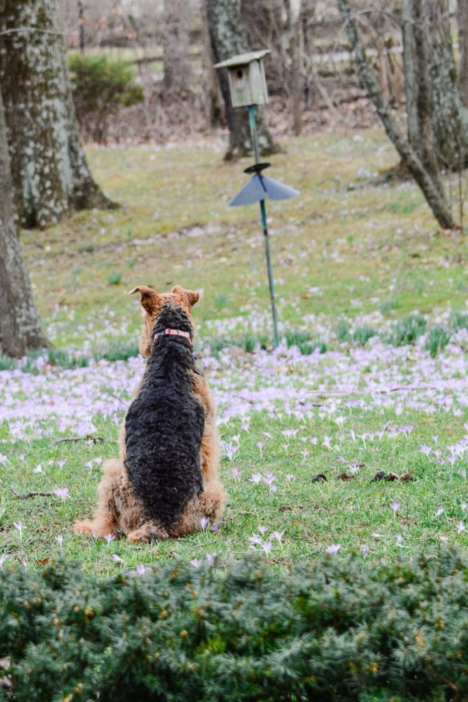 Xena Airedale |ahealthylifeforme.com