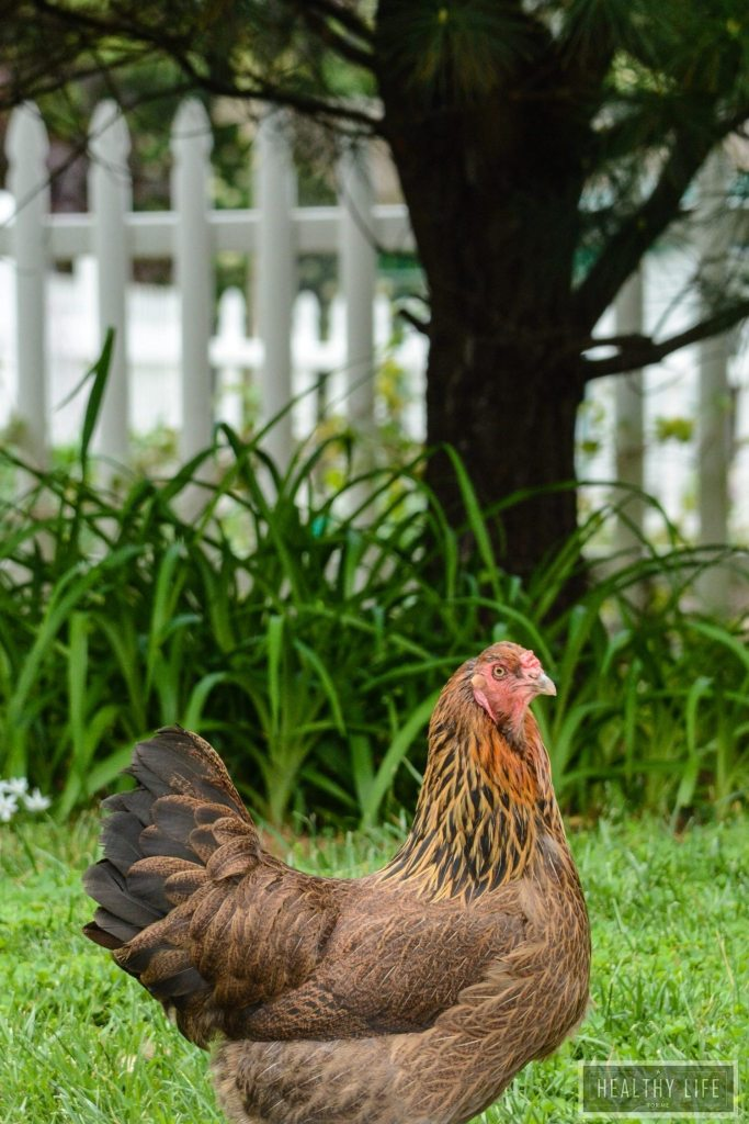 Fun Facts About Keeping Chickens