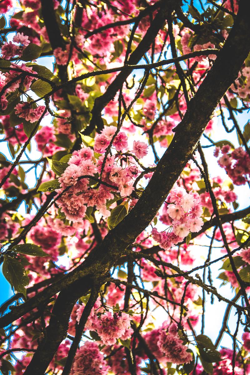 Cherry Blossoms at Parc de Sceaux (1 hour from Paris) - A