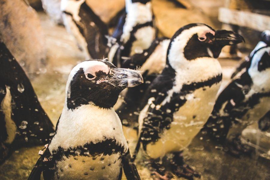 طيور البطريق الأسود والأبيض