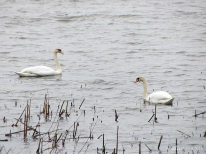 Swans IMG_0894C