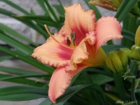 Straberry Candy Daylily