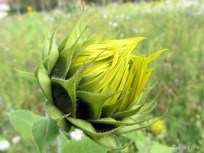 Sunflower img_1784c