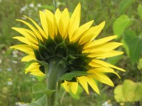 Sunflower img_1791c
