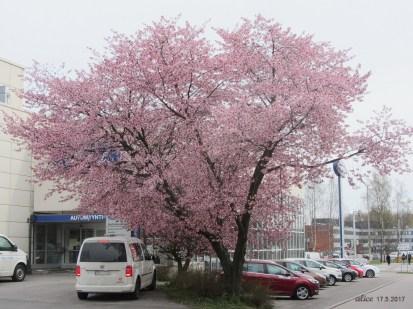 Cherry tree IMG_3391C