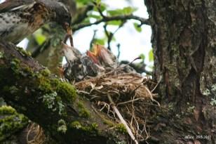bird chicks in the nest IMG_5348C