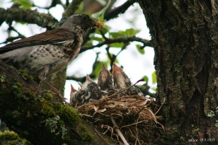 bird chicks in the nest IMG_5350C