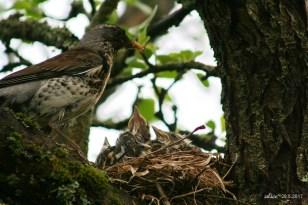 bird chicks in the nest IMG_5352C