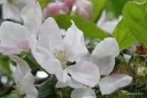 apple flowers