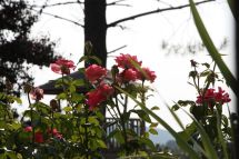 Roses and treehouse