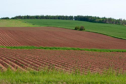 Potato fields in Cavendish PEI