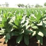 RAJANGAN PAKPIE PLOSO: Spesial Tobacco From Jombang
