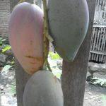 Menanam Buah-buahan di Halaman Belakang Rumah (Backyard Culture)