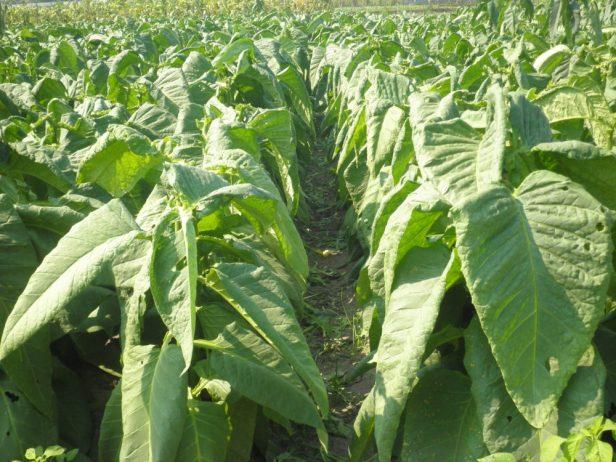 Deskripsi 5 Varietas Unggul Lokal Tembakau Rajangan (Nicotiana tabacum)