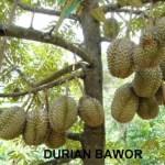 2 Lokasi Agrowisata Durian di Jogjakarta Hasil Tangan Dingin Sentra Pemberdayaan Tani (SPT)