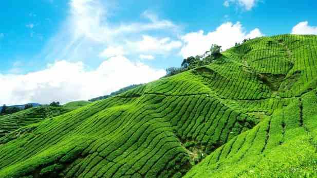 حقول الشاي في مونار