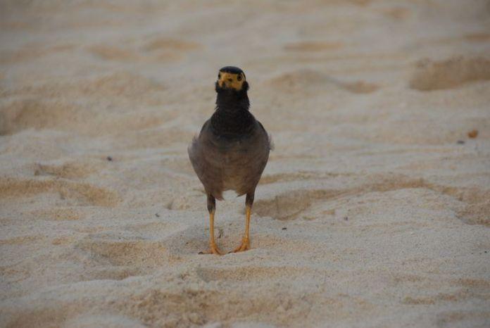 Phi Phi bird
