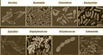 Macam Macam Bakteri dan Penjelasannya