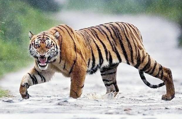 Tafsir Mimpi Tentang Harimau Dan Monyet