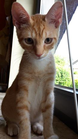 Der rot getigerte Bailey mit den riesigen Ohren, eine der schönsten Katzen der Welt!