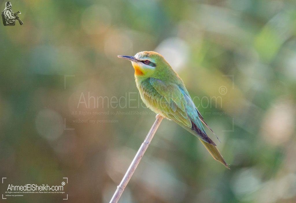 Blue Cheecked Bee Eater